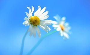 Blue beautiful sun flower PPT background