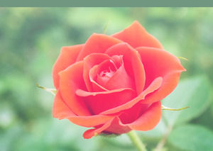 Beautiful Rose Flower powerpoint template