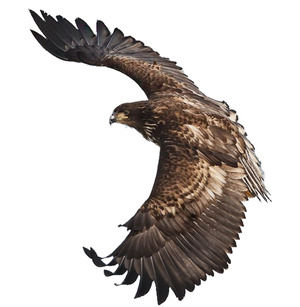Eagle eagle wings fly HD free buckle png big picture