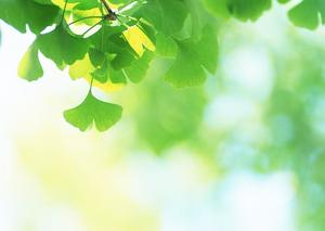 Green Ginkgo biloba plant PPT background picture
