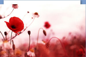 Red poppy flower PPT background picture