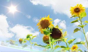 Template Girassol Natureza Ppt Sob O Céu Azul Luz Do Sol